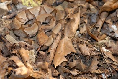 copperhead-snake-net-157.jpg