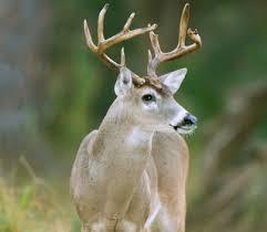 coues-deer-204.jpg