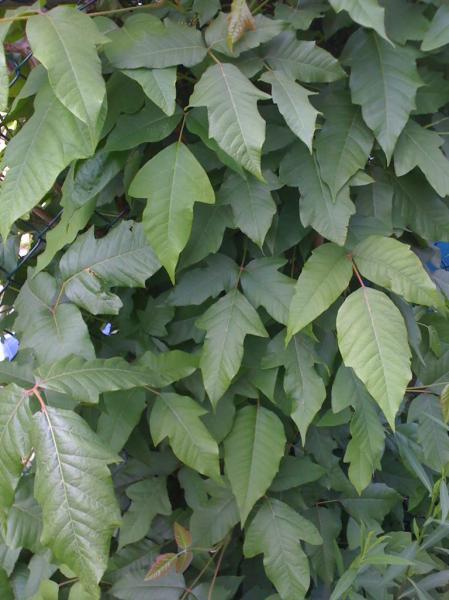 poison-ivy-11.jpg