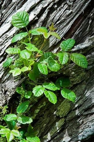 poison-oak-12.jpg
