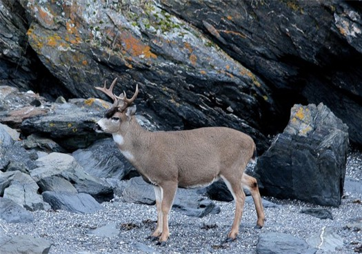 sitka-blacktail-deer-206.jpg
