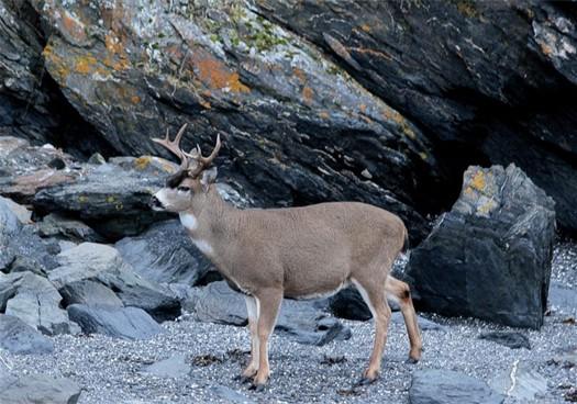 sitka-blacktail-deer-206.jpg